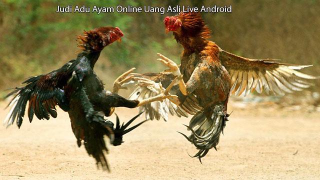 Judi Adu Ayam Online Uang Asli Live Android