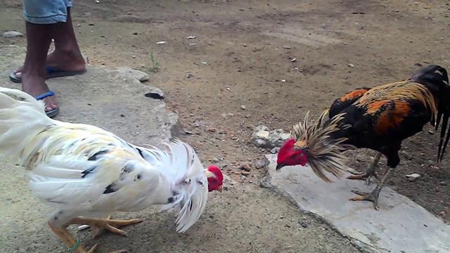 Daftar Taruhan Adu Ayam Online