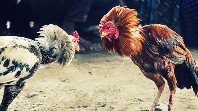 Cara Daftar S128 Di Situs Sabung Ayam Online