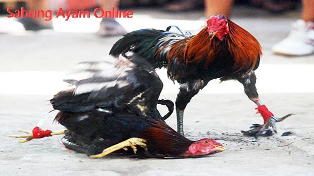 Daftar Akun Judi Sabung Ayam Online Terpercaya