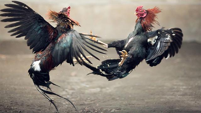 Judi Online Ayam Sabung S128